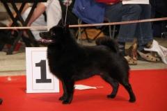 Schipperke Shalako's 'n Coros Cattin' Around World Winner 2010